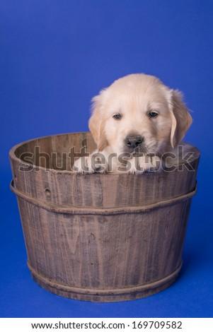 Golden retriever puppy in the studio - stock photo