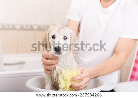 golden retriever puppy is taking a shower at home - stock photo