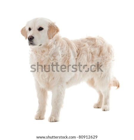 Golden retriever puppy  isolated on white background - stock photo