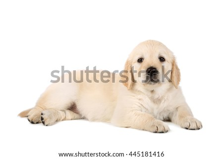 Golden retriever puppy laying