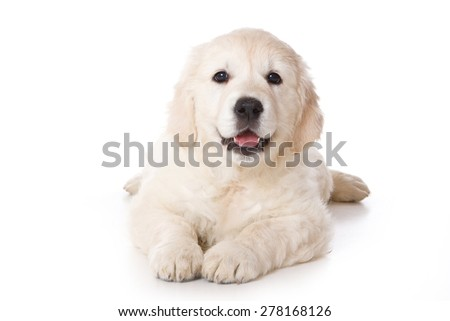 Golden retriever puppy lying and looking at the camera (isolated on white) - stock photo