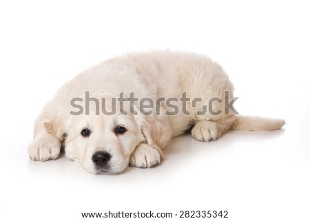 Golden retriever puppy lying and looking at the camera (isolated on white)