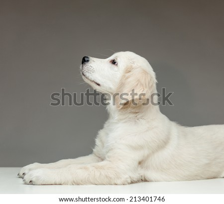 golden retriever puppy lying and looking up - stock photo