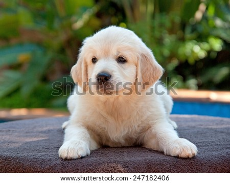 Golden Retriever puppy lying outside on a table in the garden