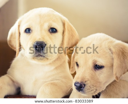 Golden retriever puppy of 7 weeks old - stock photo