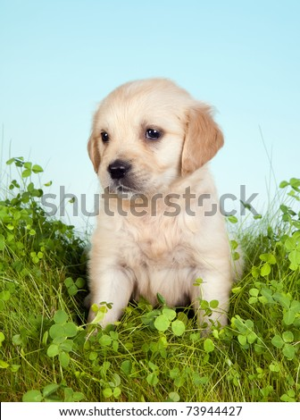 Golden retriever puppy of 6 weeks old in grass with clover - stock photo