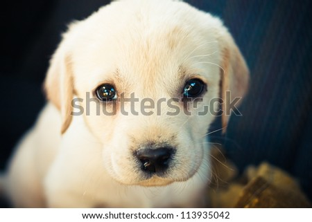 Golden Retriever Puppy Of 7 Weeks Old / Labrador Retriever Puppy - stock photo