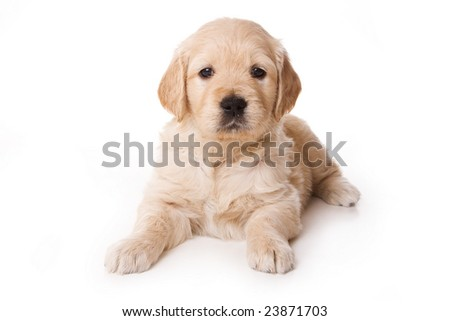 Golden retriever puppy on white background - stock photo