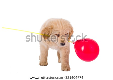 Golden retriever puppy playing with balloon isolated on white background