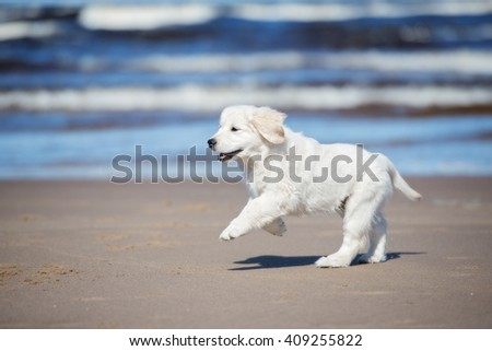 golden retriever puppy running on a beach - stock photo