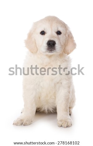 Golden retriever puppy sitting and looking at the camera (isolated on white)