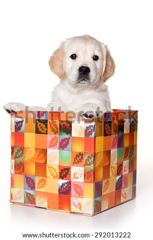 Golden retriever puppy sitting in a box and looking at the camera (isolated on white) - stock photo