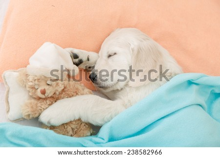 golden retriever puppy sleeping with toy on the bed - stock photo