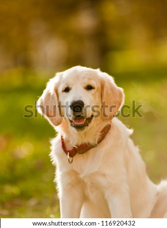 golden retriever puppy(small DOF) - stock photo