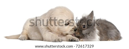 Golden Retriever puppy, 4 weeks old, and a rabbit in front of white background