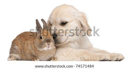 Golden Retriever puppy, 20 weeks old, and a rabbit in front of white background - stock photo