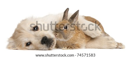 Golden Retriever puppy, 20 weeks old, and a rabbit lying in front of white background - stock photo