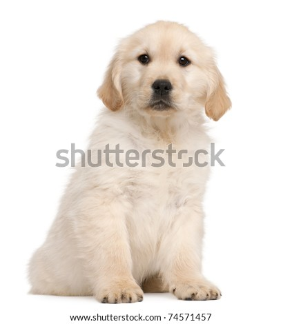 Golden Retriever puppy, 20 weeks old, sitting in front of white background - stock photo