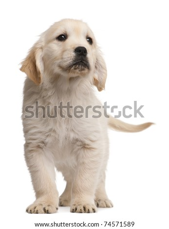 Golden Retriever puppy, 20 weeks old, standing in front of white background - stock photo