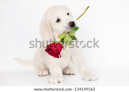 golden retriever puppy with a rose flower in his mouth - stock photo