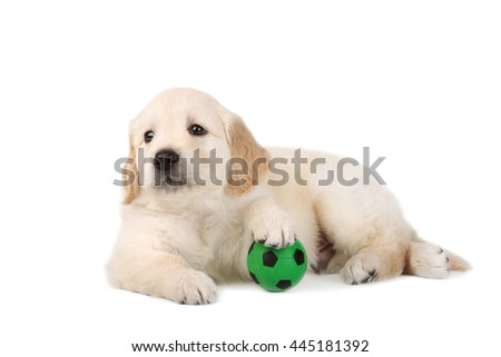 golden retriever puppy with ball