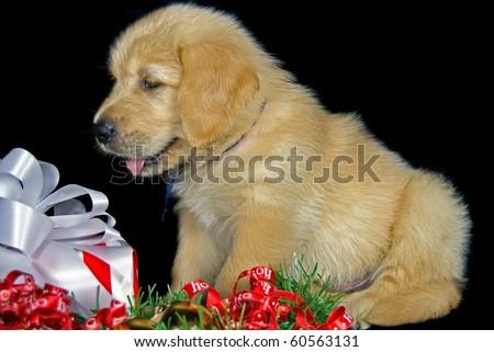 golden retriever puppy with christmas present - stock photo