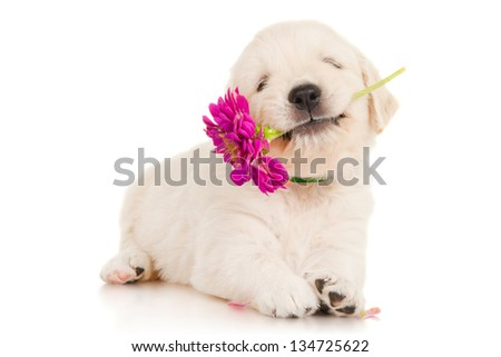 Golden retriever puppy with flower - stock photo