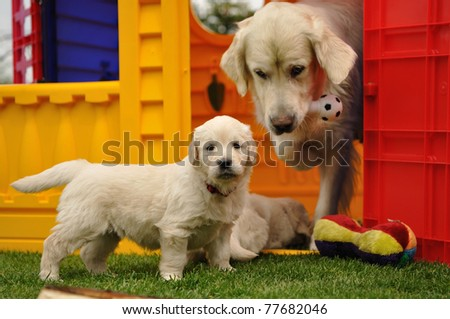 Golden retriever puppy with his mother and toys - stock photo