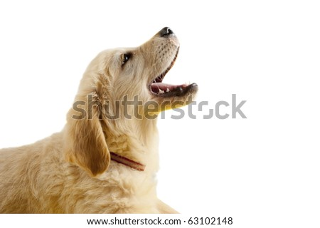 Golden retriever puppy with open mouth isolated on white - stock photo