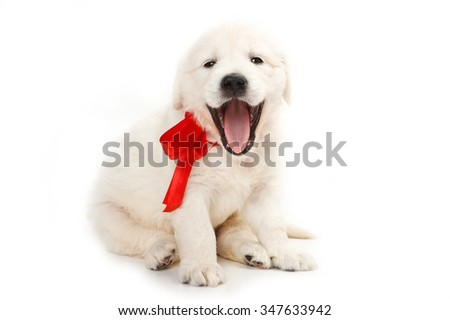 golden retriever puppy yawns (isolated on white) - stock photo