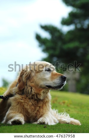 Golden Retriever Resting - stock photo