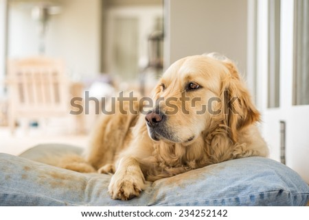Golden Retriever resting on her pillow after lots of playing. - stock photo