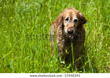 Golden retriever running in tall grass with tongue hanging out. - stock photo