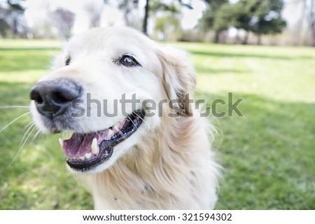 Golden Retriever running outside Smiling - stock photo