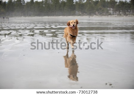 Golden Retriever runs on a wet sandy beach in the direction of the camera. His tongue is hanging out as he runs. A little mist and some distant trees are in the out of focus background.