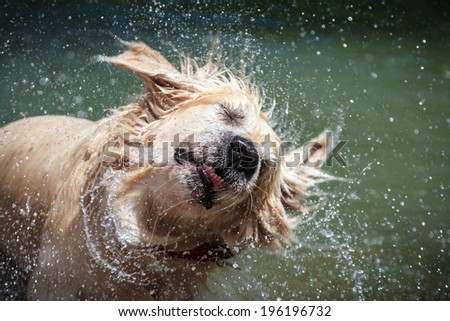 Golden Retriever shaking off water - stock photo