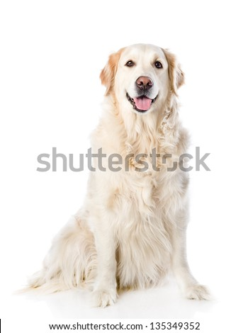 Golden Retriever sitting in front. isolated on white background - stock photo