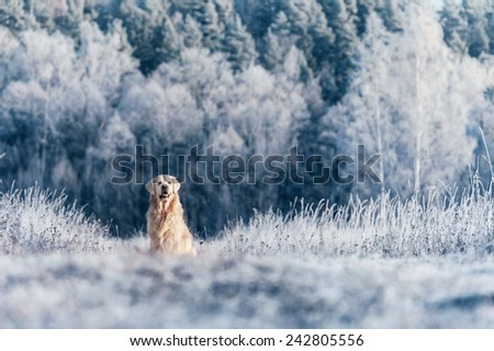 Golden Retriever sitting in frost - stock photo