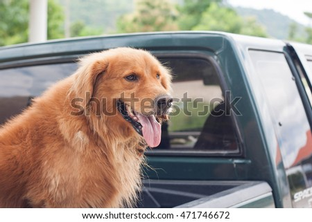 Golden retriever sitting in the car on vacation.