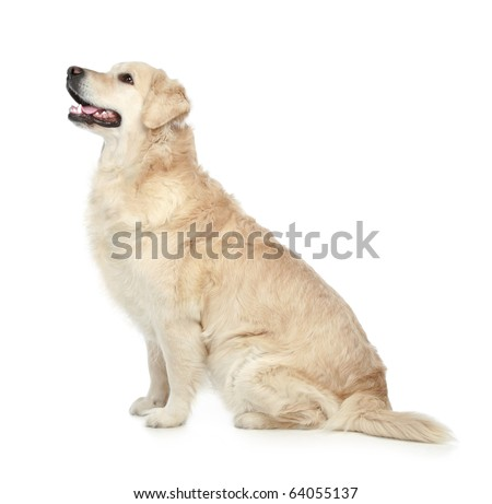 Golden Retriever sitting isolated on a white background - stock photo