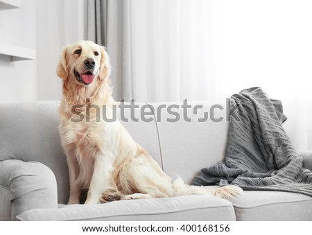 Golden retriever sitting on a sofa at home - stock photo