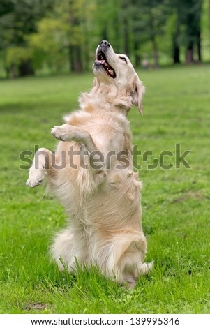 Golden retriever sitting up and begging - stock photo