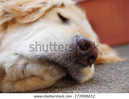 Golden Retriever,sleep time