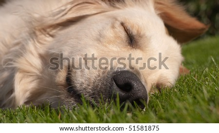 Golden Retriever sleeping in the grass - stock photo