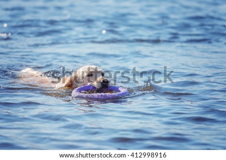 Golden Retriever Swimming - stock photo