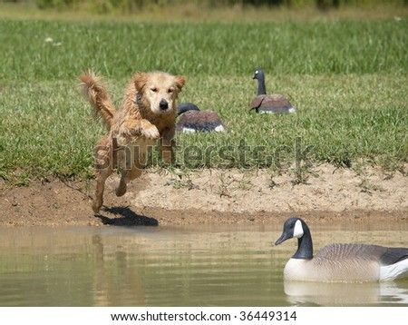 Golden Retriever ten month old puppy leaping into pond past decoys for his duck. - stock photo