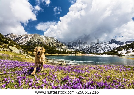 Golden Retriever Walking on a Mountain Crocus Field next to a lake - stock photo