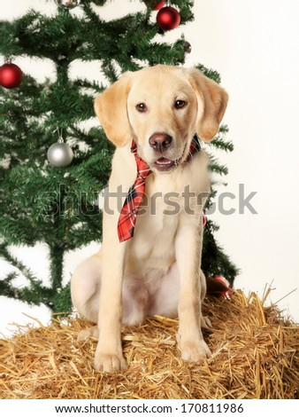 Golden retriever wearing a tie in christmas settings.