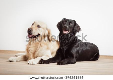 Golden Retriever with black Labrador Retriever sitting sitting together against a white background on the wooden floor in the flat.  - stock photo
