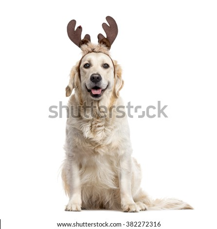 Golden Retriever with Christmas decorations looking at the camera and sticking the tongue out, isolated on white (2 years old) - stock photo